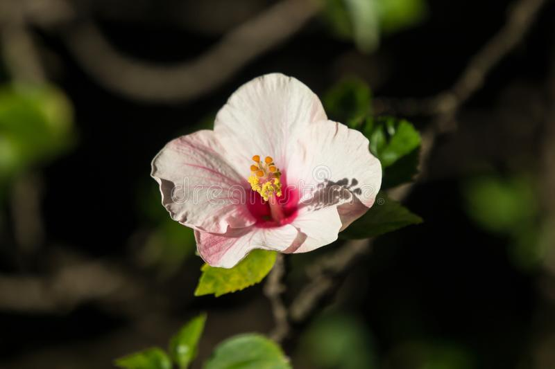 Close up of Soft Pink Hibiscus rosa-sinensis stock photo