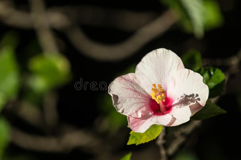 Close up of Soft Pink Hibiscus rosa-sinensis royalty free stock photo
