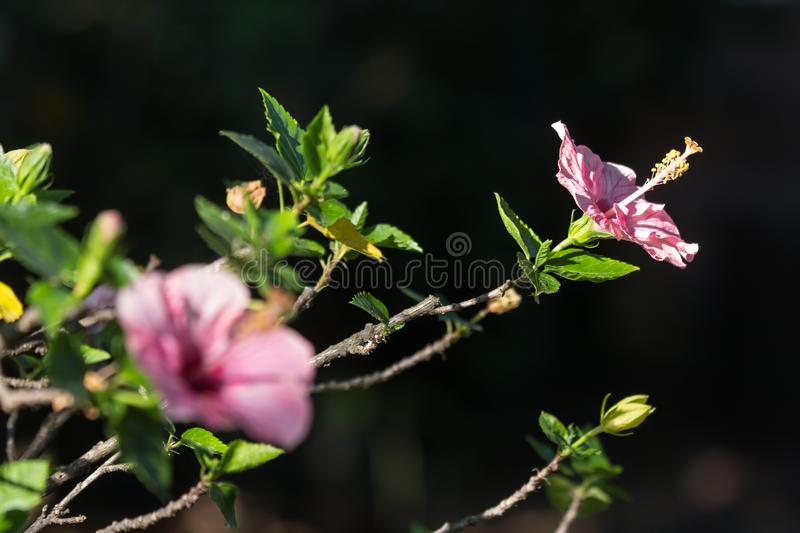 Close up of Soft Pink Hibiscus rosa-sinensis royalty free stock images