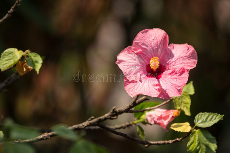 Close up of Soft Pink Hibiscus rosa-sinensis stock image