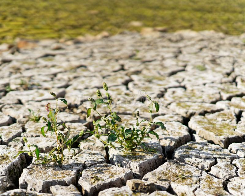 Close-up of the soil of a dry lake, the earth is broken up in large floes, small plant in the foreground, the dryness is clearly. Visible, consequence of the royalty free stock photo