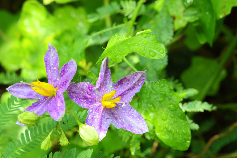 Download The Close Up Of  Solanum Indicum  L. Flower, Royalty Free Stock Photos - Image: 26816068