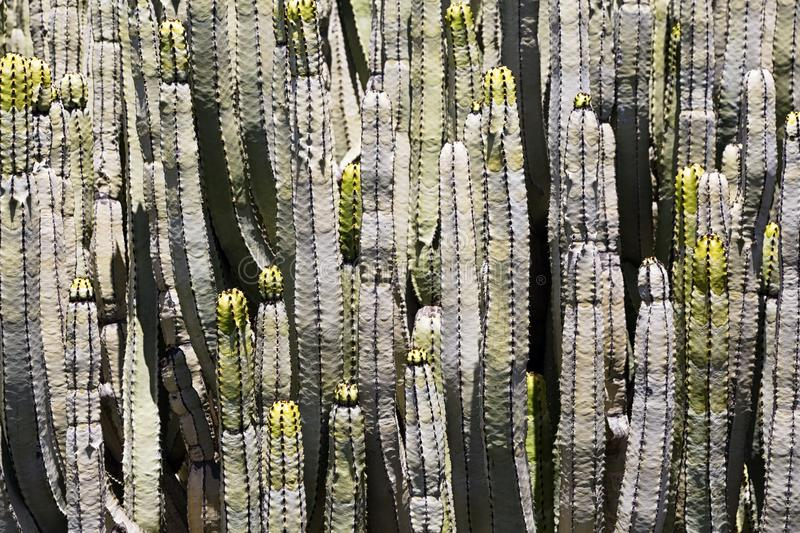 Close-up of some cactus or Euphorbia canariensis royalty free stock photos