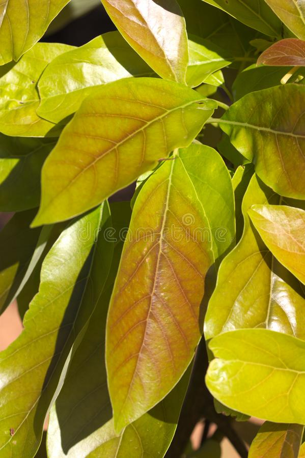 Close-up of some leaves on the branch of a avocado royalty free stock images