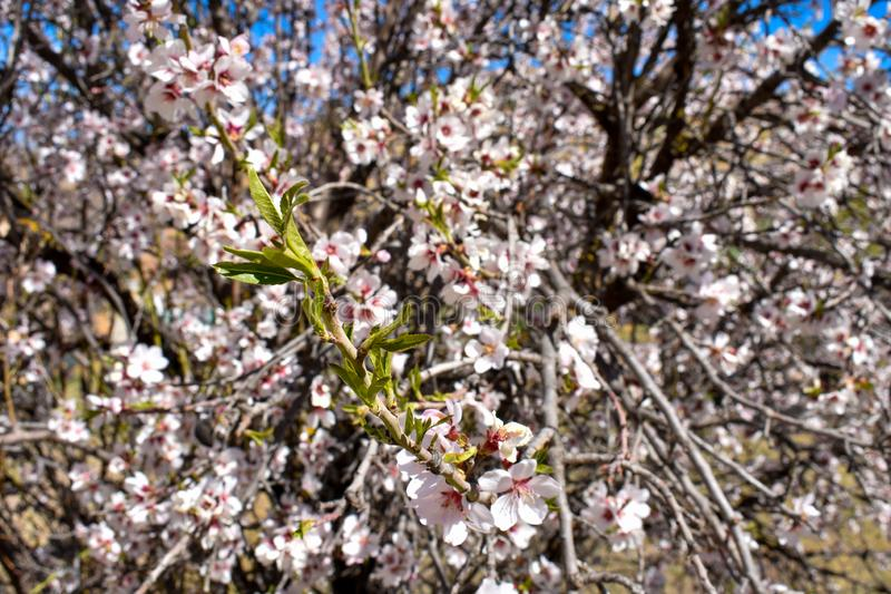 close up of some new leaves at the end of a branch of an cherry tree in a spring day with a floral background plenty of flowers royalty free stock images