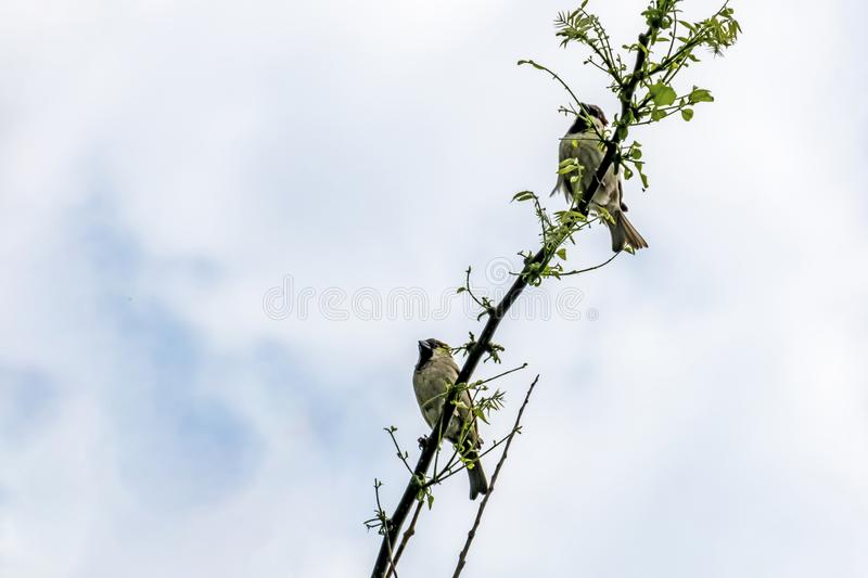Sparrow on tree branch in nature royalty free stock image