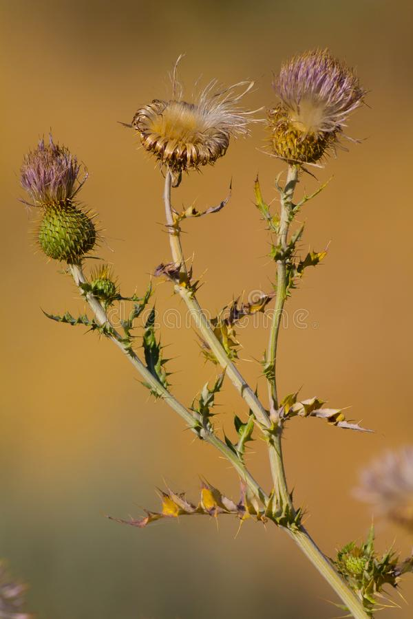 Close up of a Spear Thistle stock photos