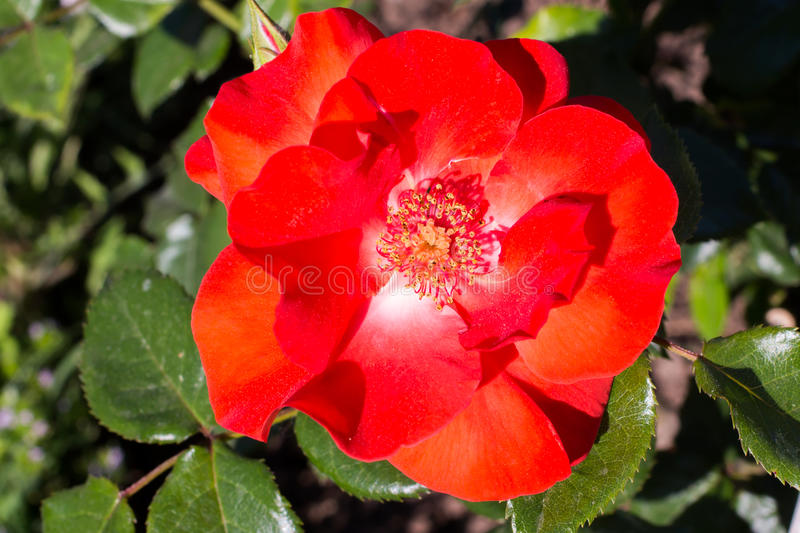 Close-up of a species of red rose stock photo