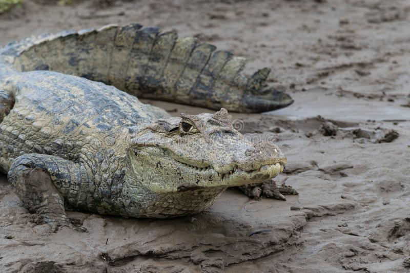 Close-up of a spectacled caiman in mud. Close-up of a spectacled caiman & x28;caiman crocodilus& x29; resting in a muddy river bed of the cano negro wildlife stock image