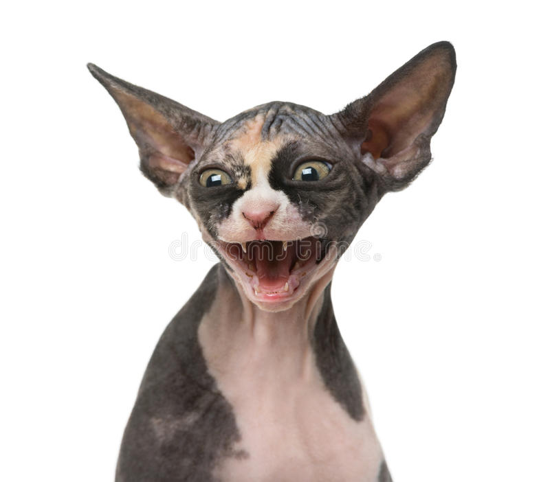 Close up of a Sphynx kitten threatening. Isolated on white royalty free stock photo