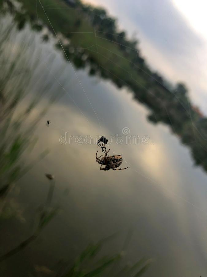 Spider on web royalty free stock images