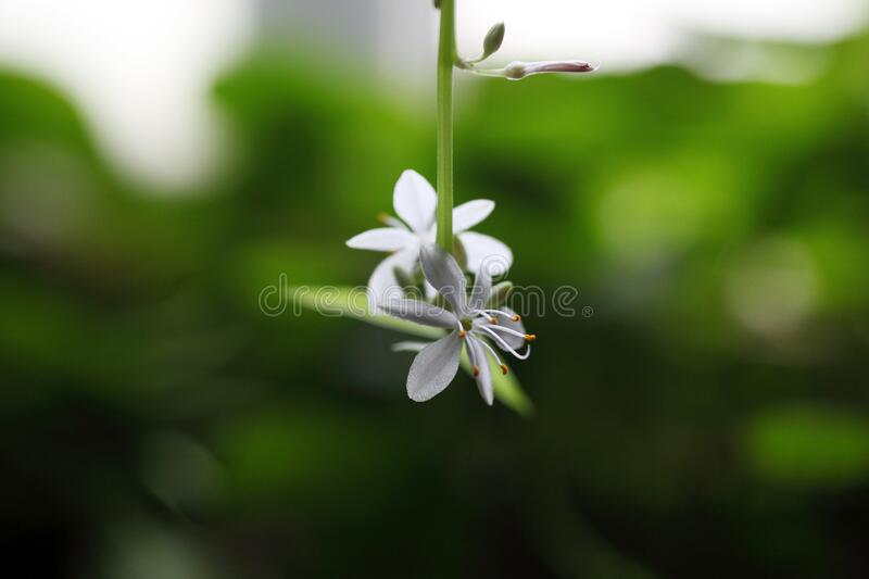 Close-up of spider plant flower with a macro lens royalty free stock photography