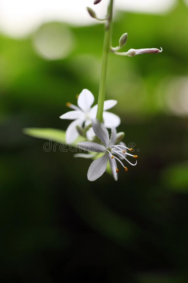 Close-up of spider plant flower with a macro lens stock photos