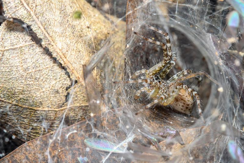 Close up spider on spider web in leaf cave  at nature thailand royalty free stock photography