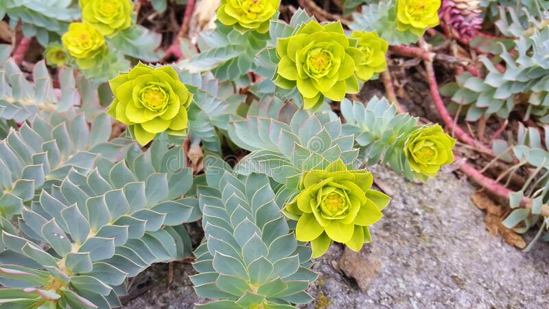 Flowers and Foliage of Myrtle Spurge royalty free stock photo