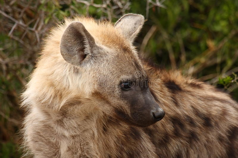 Close up of Spotted Hyena.