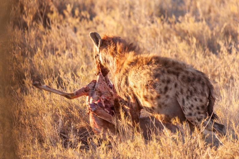 Spotted Hyena with Prey. Close-up of a spotted Hyena - Crocuta crocuta- with a prey, seen during the golden hour of sunset in Etosha national Park, Namibia royalty free stock photo