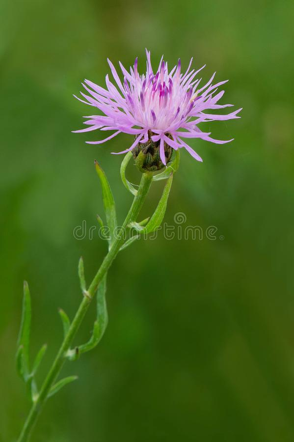 Spotted Knapweed - Centaurea Maculosa. Close up of a pink Spotted Knapweed flower. Tommy Thompson Park, Toronto, Ontario, Canada royalty free stock images