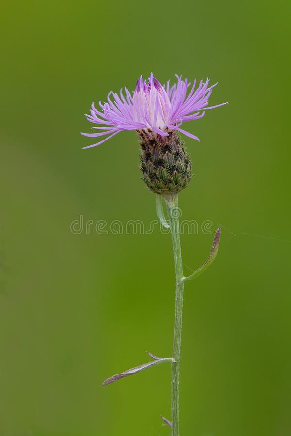 Spotted Knapweed - Centaurea Maculosa. Close up of a pink Spotted Knapweed flower. Tommy Thompson Park, Toronto, Ontario, Canada stock photography