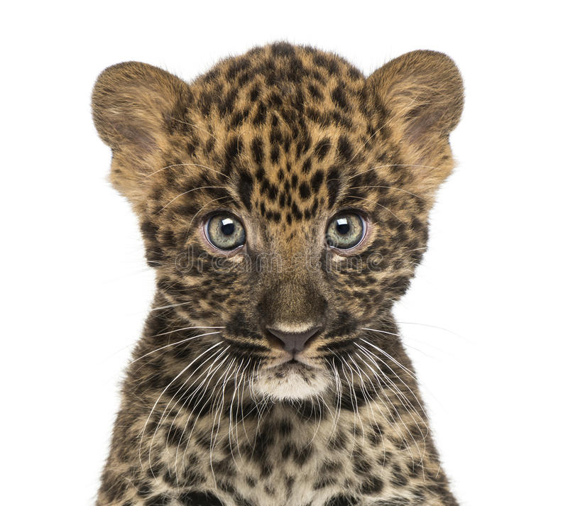 Download Close-up Of A Spotted Leopard Cub Starring At The Camera Royalty Free Stock Photography - Image: 30814207