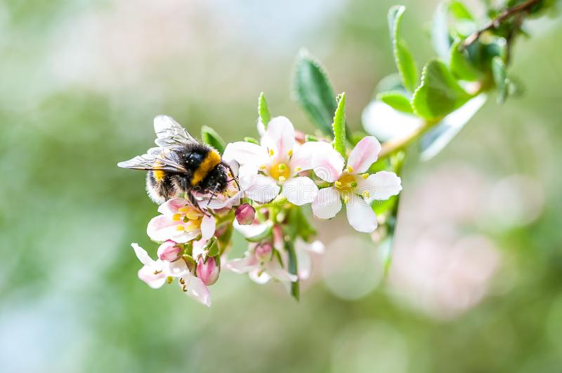A spring bumblebee collecting pollen from blossoming apple tree. stock photography