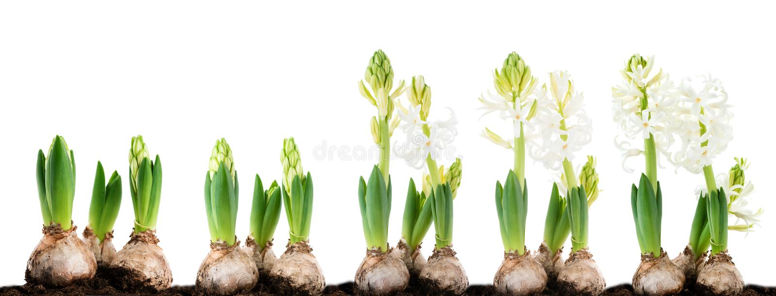 Close-up of sprout white hyacinth in a pot isolated on white background stock photography