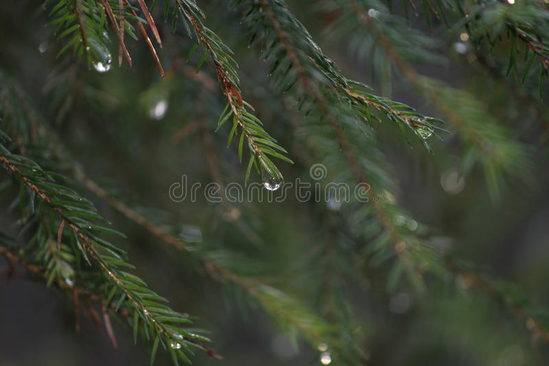 Close-up Spruce imagem de stock royalty free