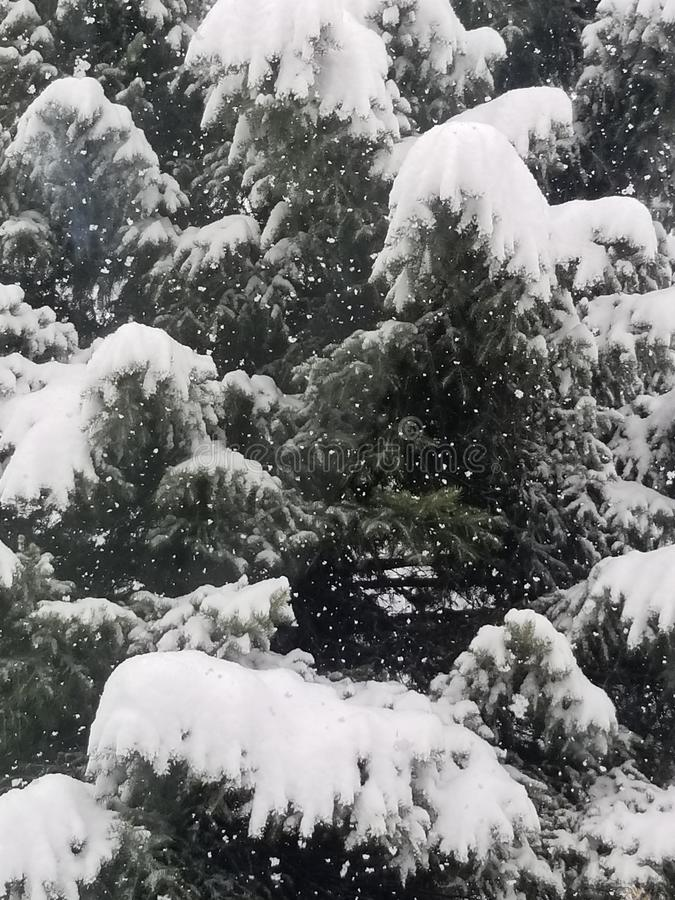Close up spruce dense snow braches heavy snow pine deciduous active snowfall royalty free stock photos