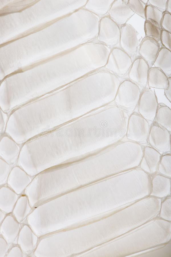 Download Close-up Of Squamata, Scaled Reptile Stock Image - Image of pattern, squamata: 11290959