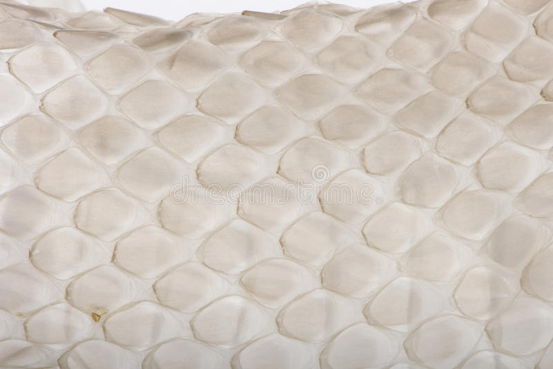 Download Close-up Of Squamata, Scaled Reptile Against White Stock Image - Image: 11290981