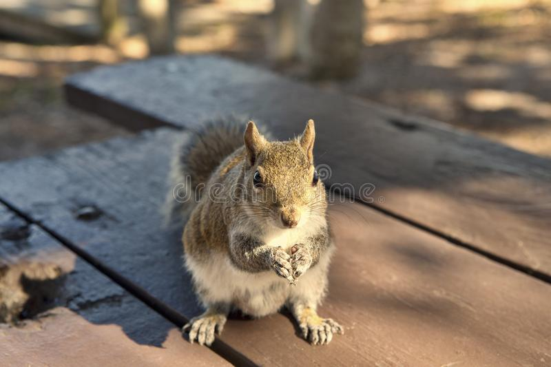 Squirrel in the Park begging for peanuts stock photos