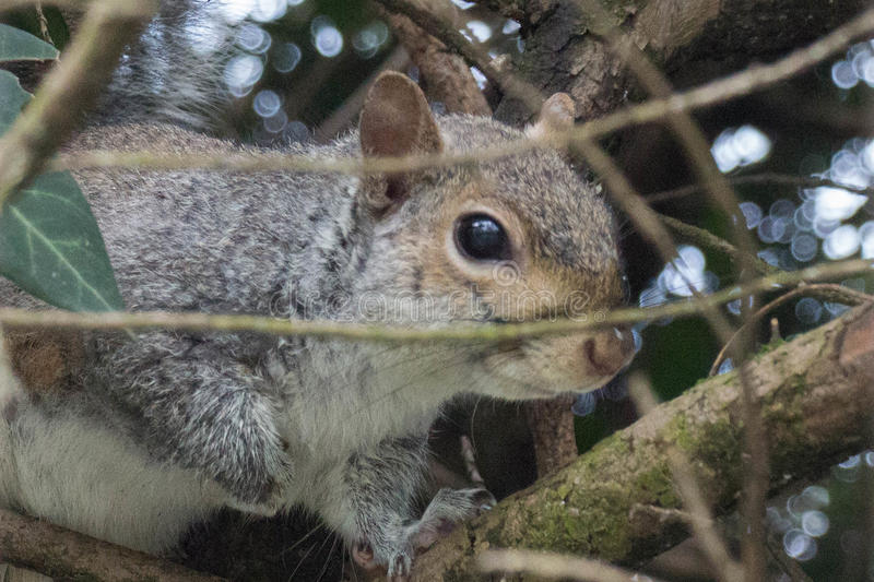 Close up of a squirrel between branches. stock image