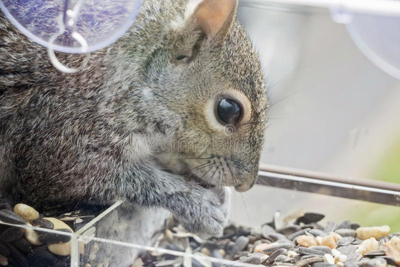 Close Up of a Squirrel Eating.  stock images