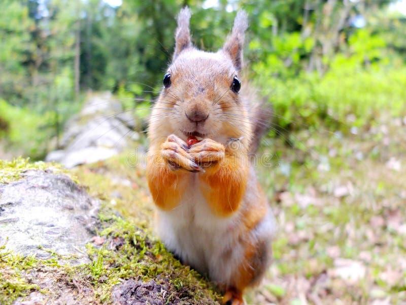 Close-up of a squirrel eating a nut. Seurasaari, Helsinki, Finland stock photos