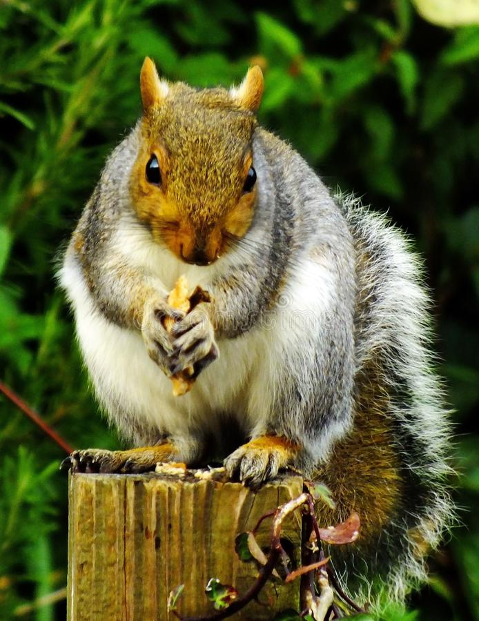 Close-up of Squirrel Eating Outdoors stock photos