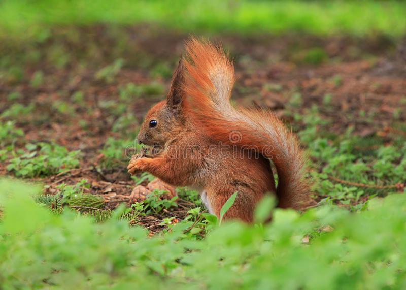 Close up of squirrel. Eating something stock photo