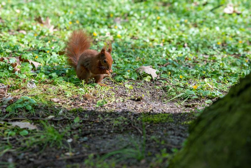 Close up on squirrel eats an acorn royalty free stock images