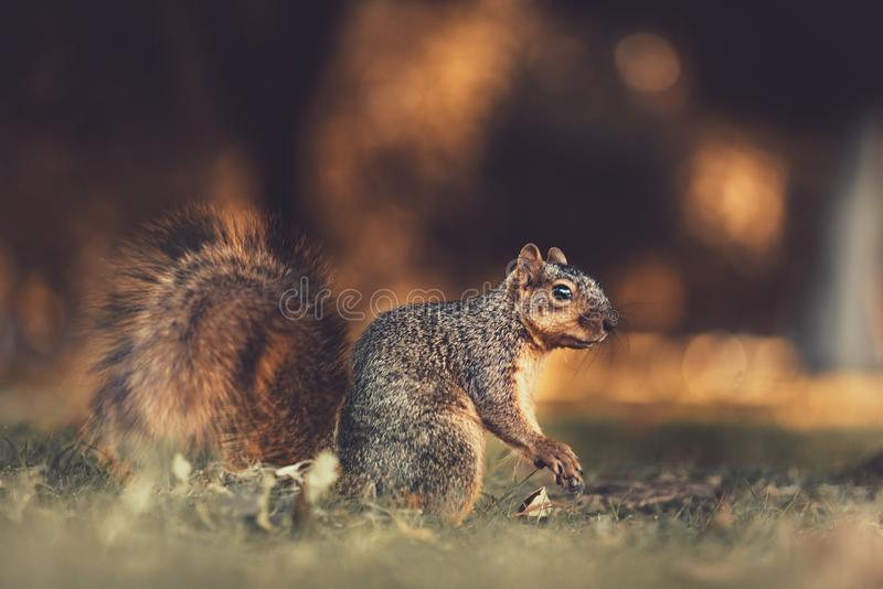 A squirrel on the floor looking off into the distance. A close up of a squirrel before it eats some food royalty free stock photo