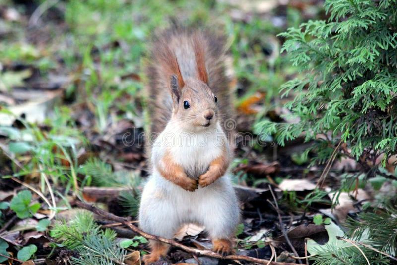 Close-up of Squirrel on Field royalty free stock images