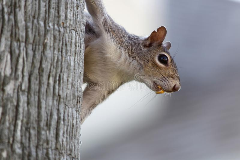 Close up of a squirrel hanging in a tree with a nut in its mouth. Curious gray squirrel hanging in a tree with a nut in its mouth stock images