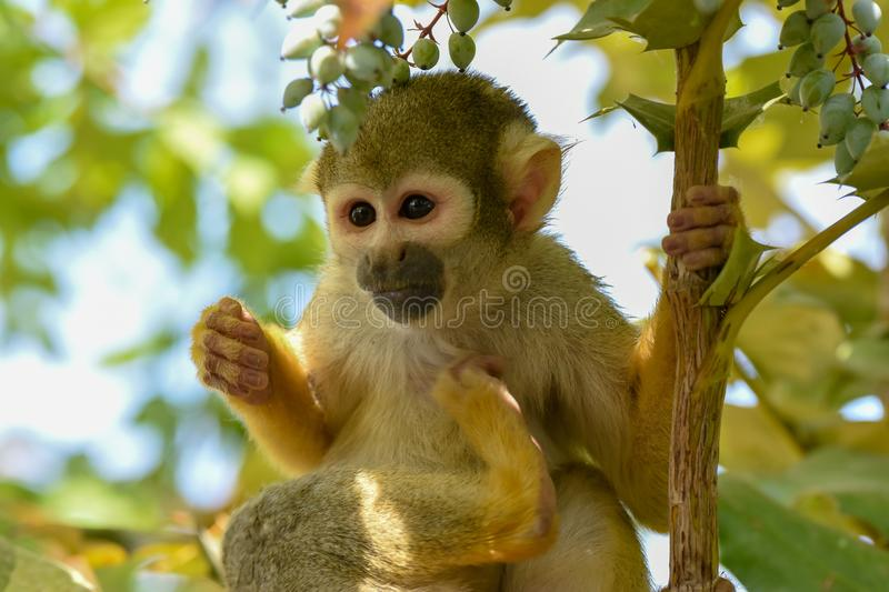 Squirrel monkey holding branch stock photography