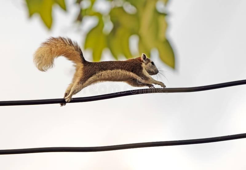 Close up Squirrel Running on Electric Wire Isolated on Background. Closeup Squirrel Running on Electric Wire Isolated on Background stock images