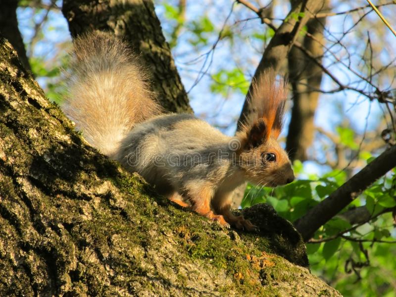 Close up. Squirrel sits on a tree illuminated by the setting sun of the spring.  royalty free stock photos