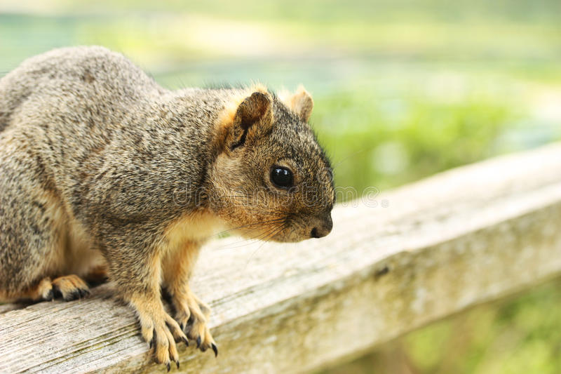 Close up of squirrel. Sitting on wooden pole royalty free stock photos