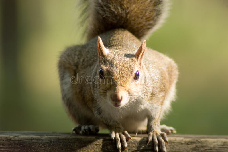 Download Close Up Of Squirrel Staring At Eye Level Royalty Free Stock Image - Image: 29961246