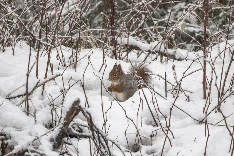 Close up of a squirrel in snow. Close up of a squirrel eating in snow royalty free stock photo