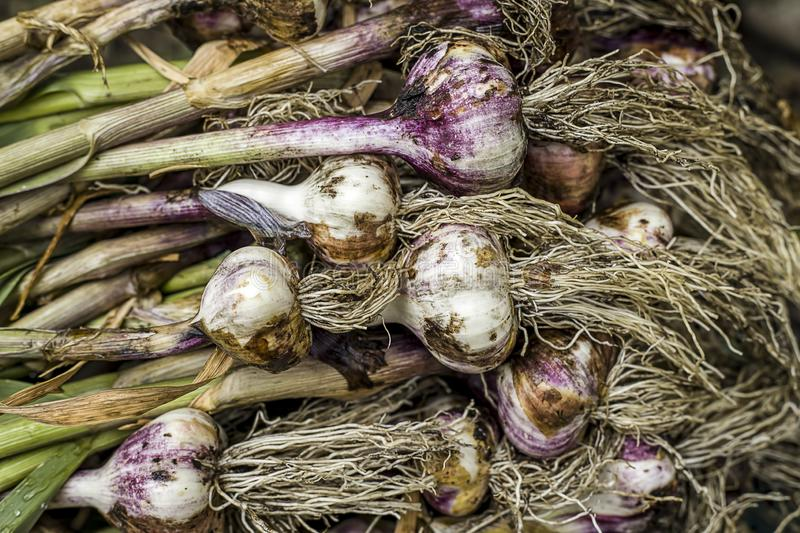 Close up of a stack of garlic. A close up of freshly picked garlic laying in a stack royalty free stock photos
