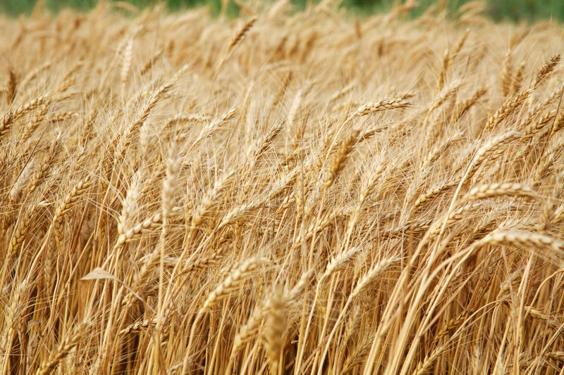 Close up stalks of wheat, grain harvest stock photography
