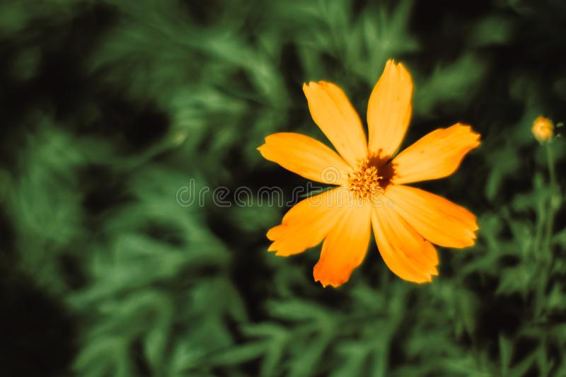 Close up star ship flowers Mexican Aster with morning sun light. in garden natural wallpaper. Beautiful yellow flower wallpaper stock images