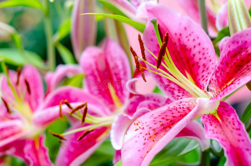 Close-up of Stargazer Lily Flower.  royalty free stock photo